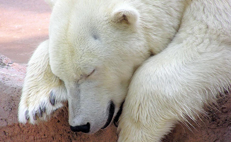 skolko-vesit-medved