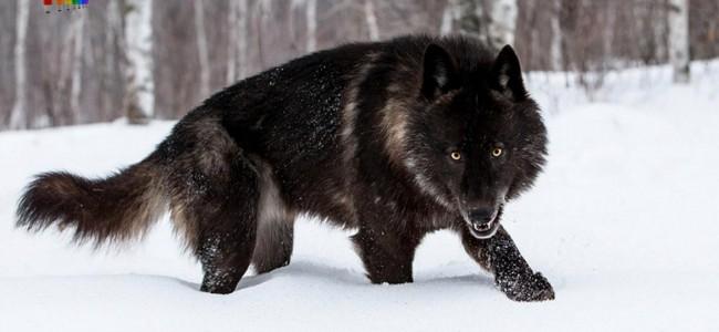 Сколько весит волк
