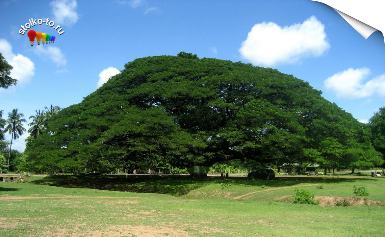 Топ самых больших деревьев