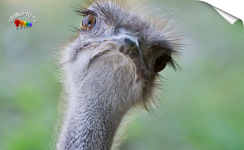 Сколько весит страус