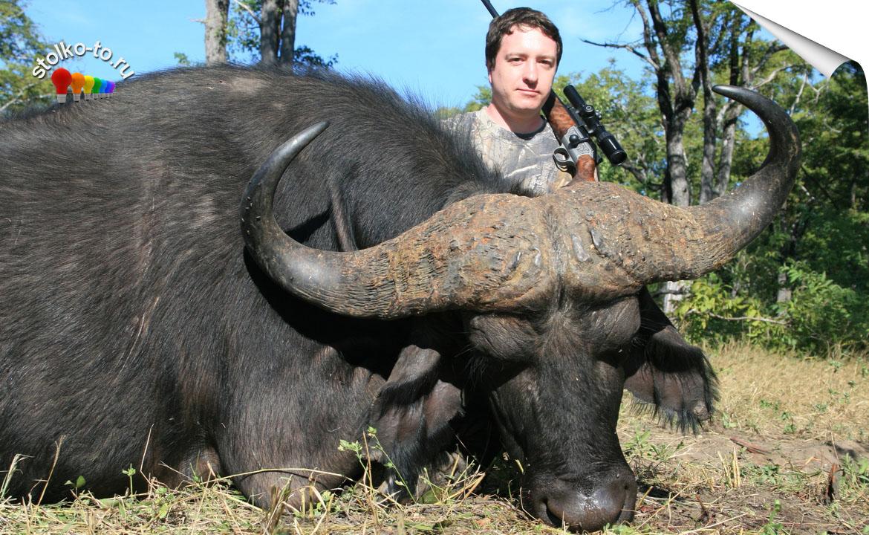 Сколько весит африканский буйвол