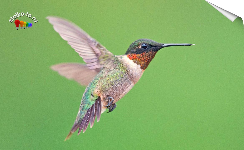 Сколько весит колибри