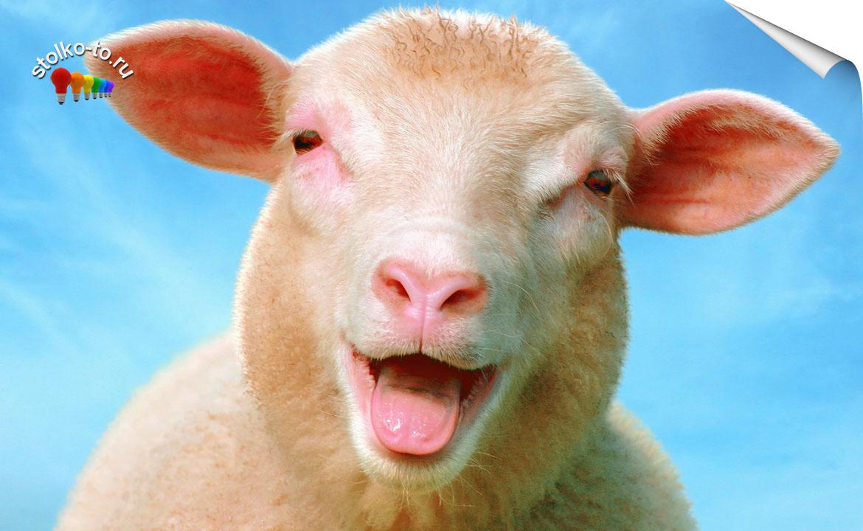 Сколько весит овца