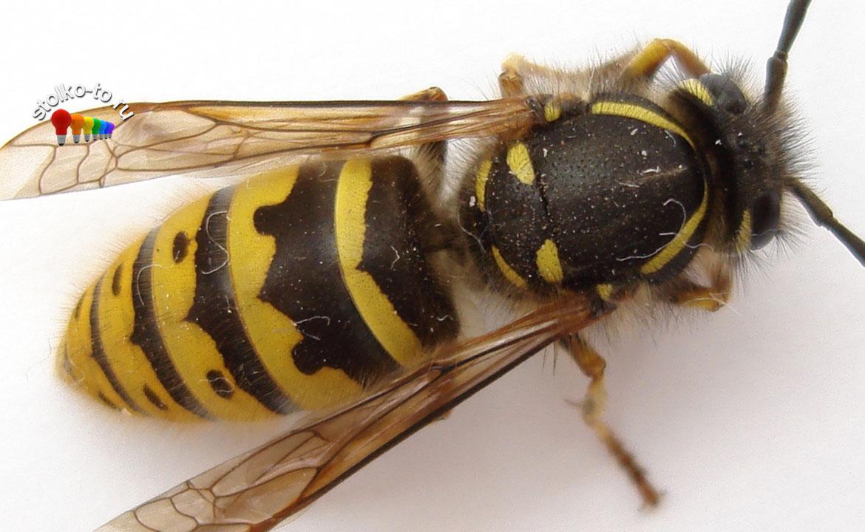 Насколько опасен укус осы